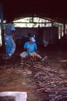 Men preparing jugube vines for Daime tea